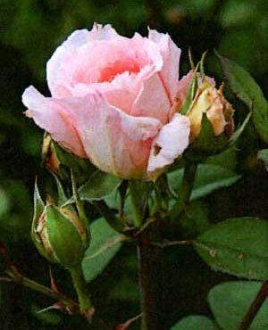 Saison 2 « La Rose Saint Léger » par les Amis de Léo